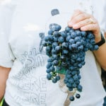 "September: time to harvest grapes to make ""Il Vino del Nonno"""