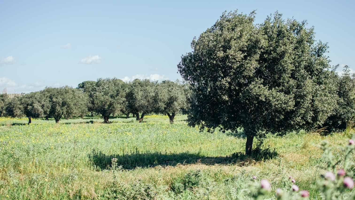 Trip to Sicily: Olive Trees| Very EATalian